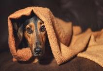 dog Anxiety  cbd oil