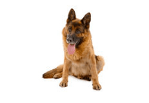 German Shepherds CBD Oil