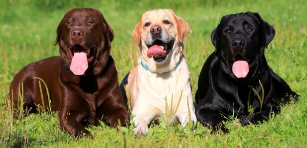 CBD Oil for Labrador Retrievers