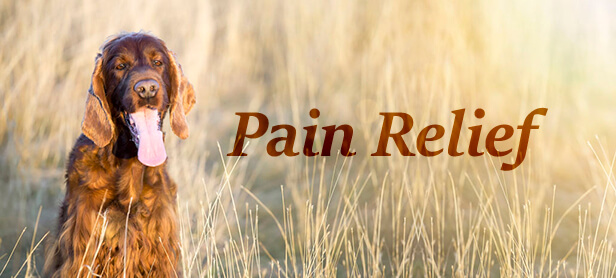 dog Pain Relief treatment with cbd oil
