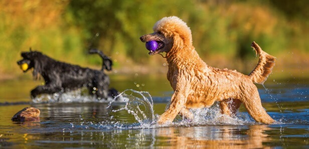 CBD Oil for Poodles