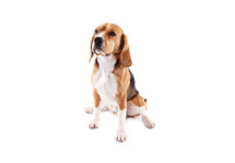 Beagles CBD Oil