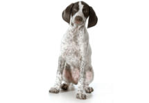 German Shorthaired Pointer CBD Oil