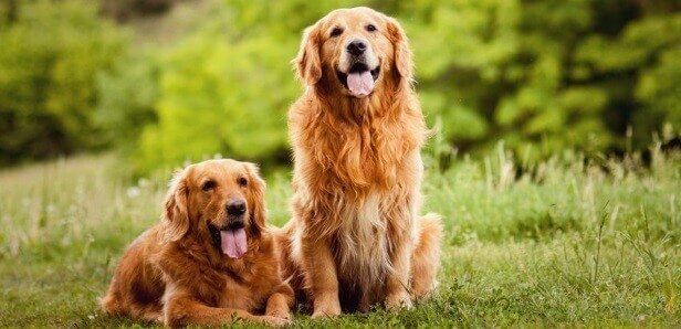 Keeping Your Golden Retriever Healthy Well Into Their Golden Years