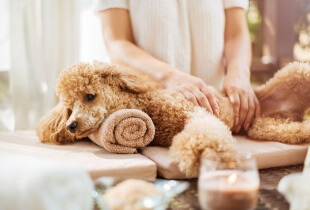 How CBD Can Help Your Poodle's GVD