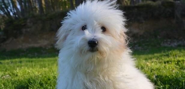 Coton de Tulear Dogs