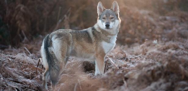 German Shepherd Husky Mix Health Issues Guide | DogDreamCbd