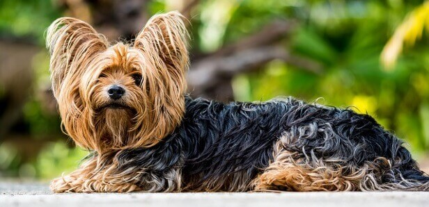 7 Tips to Avert Allergies in Your Yorkshire terrier